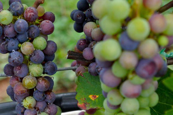 grapes+1750