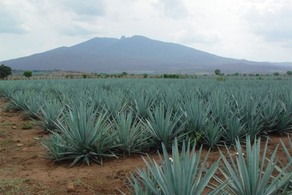 arette-agave-field_r2