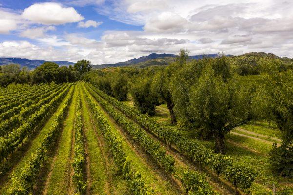 concepcion vineyard shot